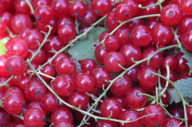 Red Ribes Currants